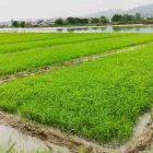 کاشت حداکثری اراضی کشاورزی در مازندران