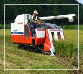 1400 کمباین در حال برداشت برنج در آمل